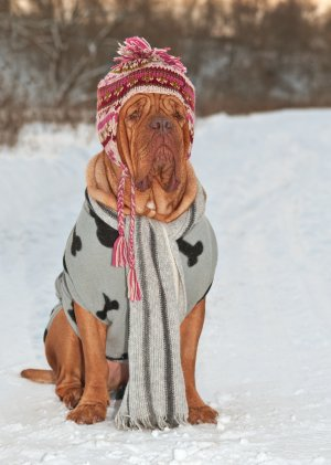 Dog wrapped up against the cold